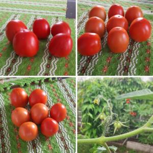 tomate nury